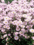 "Erigeron ""Quakeress "" Flowering in  Norfolk"