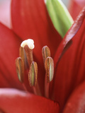 Lilium Stone (Lily)  Close-up of Red Flower with Stamens