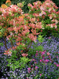 Salmon Pink Rhododendron (Azalea)  Blue Myosotis (Forget Me Not) and Silene (Red Campion)