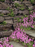 Erinus Alpinus and Asplenium Trichomanes (Maidenhair Spleenwort) on Lakeland Slate Steps  Cumbria