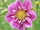 Collarette Dahlia