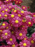 "Chrysanthemum ""Wessex Tune"""