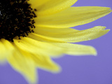 Sunflower Close-up with Blue Background Summer