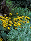 "Rudbeckia Fulgida ""Deamii "" Phormium Purpureum and Senecio Growing Together"