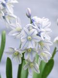 Scilla Mischtschenkoana  Pale Blue Flower