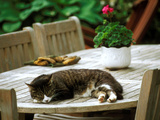 Tabby Kitten Naps on Outdoor Patio Table