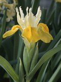 "Iris ""Bucharica"" Flowering in Single Flower with Leaves"