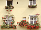 Summer Window Boxes and Pots Pelargonium  Viola  House Plants Yellow Building  Italy