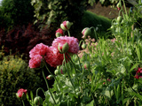 Papaver Somniferum (Opium Poppy) View of Pink Flowers and Opening Green Buds
