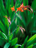 Crocosmia Paniculata  Close-up of Flowers and Foliage