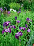 Iris Sibirica (Siberian Flag)  Beardless Siberian Iris  Flowers with Purple Petals and Dark Veining