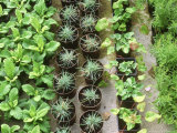 Rows of Cuttings in Pots Wretham Lodge Norfolk