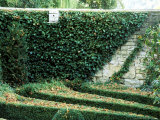 Box Maze Detail with a Wall Covered in Ivy  Bourton House Garden  September