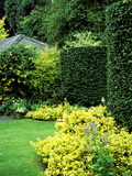 Beech Hedging with Bright Yellow Variegated Euonymus at Base
