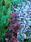 "Sedum Telephium Maximum ""Atropurpureum"" and Salvia  Purpurascen  Purple Sage"