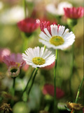 Erigeron Karvinskianus  Close-up of White/Red Flower Heads