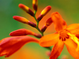 "Crocosmia ""Venus "" Close-up of Orange/Red Flower Head"