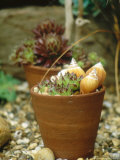 Sempervivum in Terracotta Pot with Shells