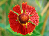 Helenium Hoopesii  Close-up of Red Flower Head