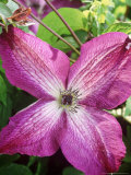 Clematis Veitchiana Venosa Violacea  Close-up of Pink Flower