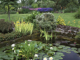 Small Pond with Water Lily  Arum Lily  Umbrella Plant and Curled Pondweed