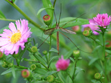 Crane Fly on Aster Flowers October