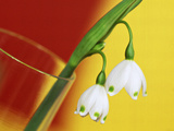 "Leucojum Vernum ""Spring Snowflake"" in Glass Vase with Red & Yellow Background"