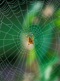 Spider in the Middle of Cobweb  September