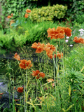 "Orange Papaver (Poppy) Flowers in Combination with Carex Elata ""Aurea"" ""Bowles Golden Sedge"""