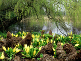 Bright Yellow Spathes of American Skunk Cabbage