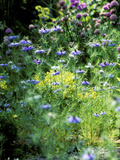 Nigella Damascena (Love in a Mist) Blue Flowers Growing in Border Summer