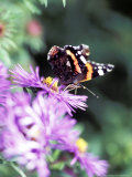 Butterfly on Aster Novae Angliae  September