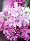 """Bunch 0F Allium Scoenoprasum  Allium Unifoloium & Allium Oreophilum """"Zwanenburg"""""""