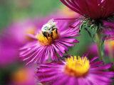 Bee on Aster Novae Angliae