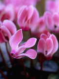 Mini Cyclamen  Close-up of Pink Flowers  November