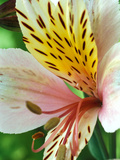 Alstroemeria (Stablaco) Diana Princess of Wales  Close-up of Flower Head