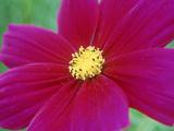 Cosmos Sulphureus Dazzler (Cosmos)  Close-up of Pink Flower