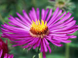 "Aster Novae Angliae ""Lou Williams "" Pink Flower Head  September"