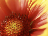 Gaillardia Grandiflora Dazzler  Close-up of Red Flower