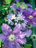 "Campanula ""Lactoflora"" Growing Amongst Clematis (Purple Flowered Climber)"