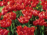 "Tulipa ""Oranje Nassau"" (Double Early Group) Spring"