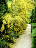 Bright Yellow Flowering Spiny Shrub Genista Syn Chamaespartium (Broom)  Oxfordshire Garden