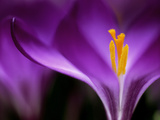 "Crocus Crysanthus ""Eye Catcher"" (Extreme Close-up) March"