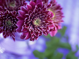 "Chrysantheumum ""Misha "" Deep Red Flowers in Glass Vase"