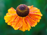 "Helenium ""Sahins Early Flowerer"""