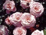 "Rosa ""Macrexy"" (Syn Rosa Sexy Rexy) (Floribunda Rose)  Pink Flower"