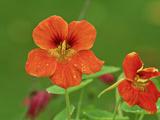 """Tropaeolum Majus """"Jewel Series """" Orange Flowers  October"""