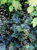 """Heuchera Micrantha Diversifolia """"Palace Purple """" Purple Flowers and Foliage"""