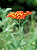 "Achillea ""Walter Funke "" Close-up of Flower Head and Foliage"