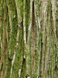 Ulmus X Vegata (Dutch Elm Cultivar)  Close-up of Green Tree Bark
